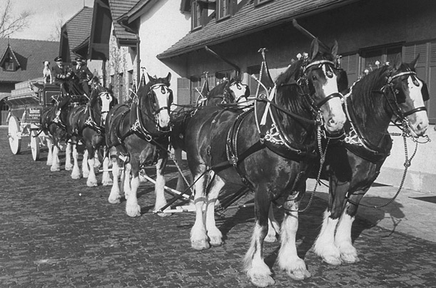 Anheuser Busch Horses. the Anheuser-Busch company